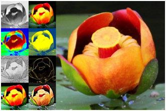 Pond Lily Study