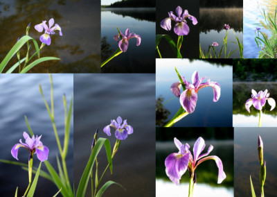 Irisis at the Cottages