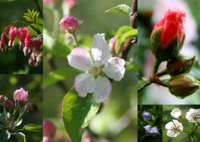 Pink and White Buds Collage