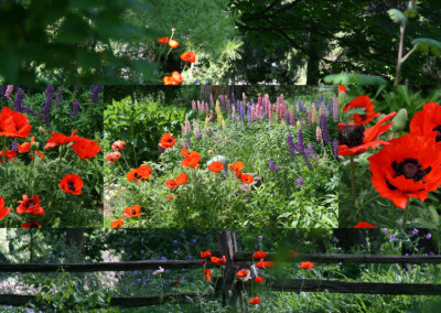 Poppies Galore 2