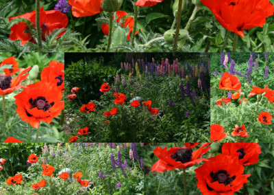 Poppies Galore