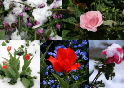Tulips and Roses Snow and Summer
