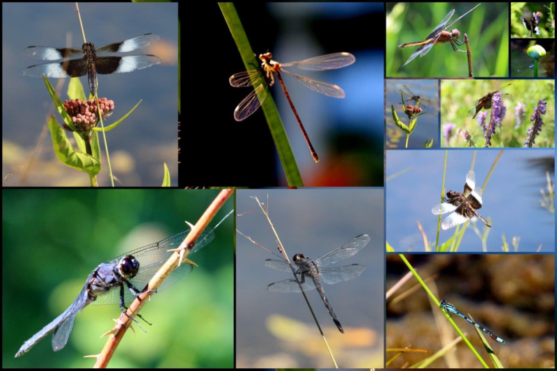 Dragonflies at Six Mile Lake